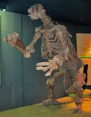 Ground sloth - Fossil Eremotherium skeleton, National Museum of Natural History, Washington, DC.