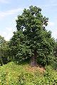Erftstadt-Konradsheim-Naturdenkmal.JPG