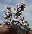 Erica cristiflora 15107405.jpg