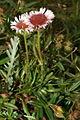 Erigeron glabratus PID905-3.jpg