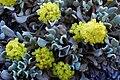Eriogonumdiclinum.jpg