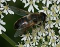 Eristalis tenax (female) - Drone Fly - Flickr - S. Rae (7).jpg
