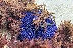 Erizo de mar violáceo (Sphaerechinus granularis), isla de Mouro, Santander, España, 2019-08-15, DD 80.jpg