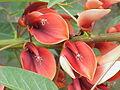 Erythrina crista-galli2.jpg