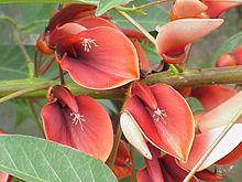 une belle floraison d'été pour l'erythrine ou arbre corail