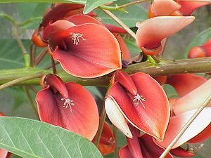 Flora of Uruguay - Ceibo (Erythrina crista-galli), the national flower of Uruguay.
