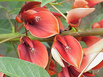 Erythrina crista-galli - Flowers