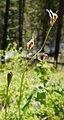 Erythronium grandiflorum ssp. grandiflorum immature seed pods 1.jpg