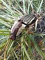 Escarabajo click 005.jpg