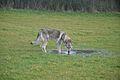 Eska der Tschechoslowakische Wolfhund beim trinken.jpg
