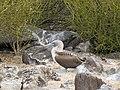 Espanola - Hood - Galapagos Islands - Ecuador (4871509348).jpg