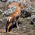 Etiopisk varg-2.jpg