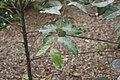 Eucalyptus deglupta 16zz.jpg