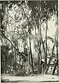 "Eucalyptus gomphocephala from ""Eucalypts cultivated in the United States""; (1902) (14596498508).jpg"