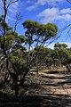 Eucalyptus leptophylla (32284539530).jpg