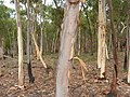 Eucalyptus mannifera (5369003382).jpg