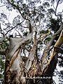 Eucalyptus tree in Lane Cove National Park.jpg