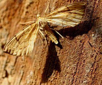Barred straw - Image: Eulithis pyraliata 01