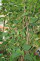 Eupatorium Atrorubens (1) (11983854936).jpg
