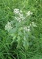 Eupatorium serotinum kz01.jpg