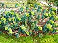 Euphorbia characias subsp. wulfenii in Jardin des Plantes 02.JPG