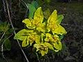 Euphorbia epithymoides 2016-04-19 7954.JPG