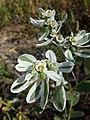 Euphorbia marginata sl2.jpg