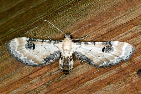 Eupithecia centaureata, Lodz(Poland)01(js).jpg