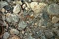 Euprocte des Pyrénées ou calotriton des Pyrénées (Calotriton asper) 04.jpg