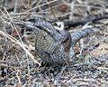 Eurasian wryneck (Jynx torquilla) - Flickr - Lip Kee (1).jpg