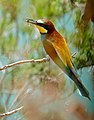 European Bee-eater (Merops apiaster) with a horsefly in its bill ... (35663564912).jpg