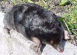 European mole animal.jpg