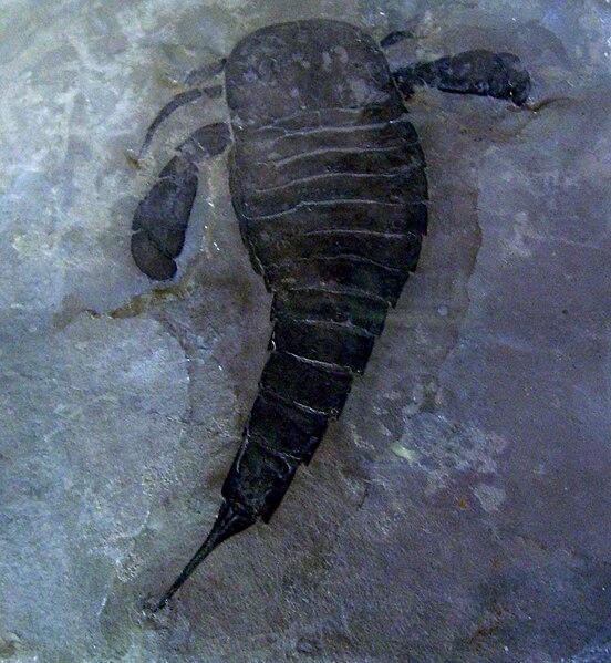 Tipo de escorpião marinho pré-histórico encontrado vivo na costa da Austrália