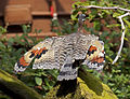 Eurypyga helias -London Zoo, England-8a (3).jpg