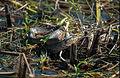 Everglades47(js)-Snake.jpg