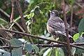 Eyebrowed Thrush from Khonoma bird watching tour to Nagaland.jpg