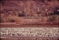 FLOCKS OF BLUE GEESE AND SNOW GEESE STOP AT THE SQUAW CREEK NATIONAL WILDLIFE REFUGE NEAR MOUND CITY, MISSOURI, AT... - NARA - 557121.tif