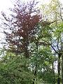 Fagus sylvatica 'Purpurea', Odessa.jpg