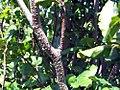 Fagus sylvatica Dawyck 2zz.jpg