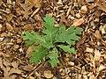Fallen Oak Leaves (37219163400).jpg