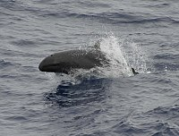False killer whale 890002