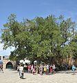 Famagusta-Ficus sycomorus-CTH.jpg