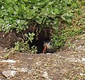 Farne Islands puffin in burrow.jpg