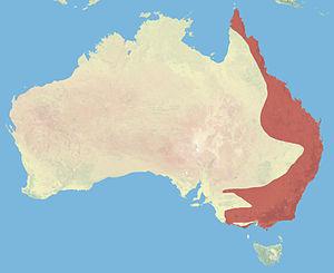 Australischer Schlafbeutler