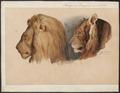 Felis leo - 1842-1849 - Print - Iconographia Zoologica - Special Collections University of Amsterdam - UBA01 IZ22100003.tif