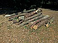 Felled pine tree logs at Hatfield Broad Oak, Essex, England 3.jpg