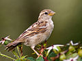 Female House Sparrow (Passer domesticus).jpg