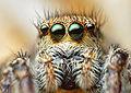 Female Jumping Spider (Habronattus coecatus).jpg