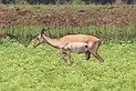 Female impala in Mlilwane Wildlife Sanctuary.jpg