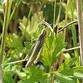 Female lesser marsh grasshopper (Chorthippus albomarginatus), Blunham, Bedfordshire (9417892212).jpg